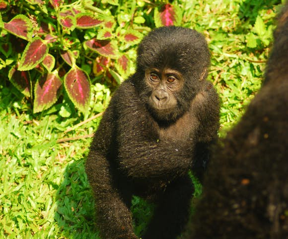 Playful baby mountain gorilla on gorilla habituation experience, Bwindi Impenetrable Forest