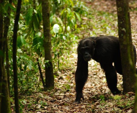 Adult chimpanzee walking through Kibale Forest on Kibale habituation experience.