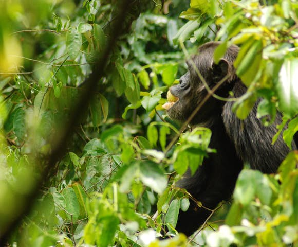 Chimpanzee eating some fruit whilst sitting on a branch.