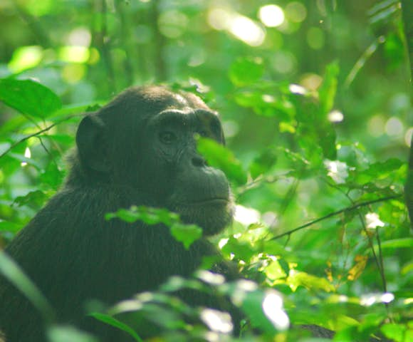 Chimpanzee staring into the distance in Kibale Forest on Kibale habituation experience.
