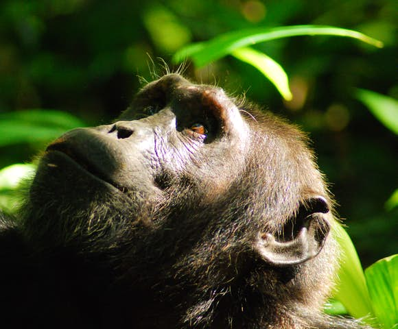 Close up photo of a chimpanzee in Kibale Forest.