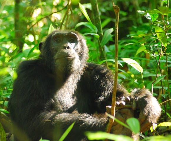 Adult chimpanzee in Kibale Forest, staring at the camera.