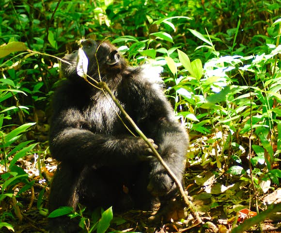 Adult chimpanzee in Kibale Forest, staring up at the sky.