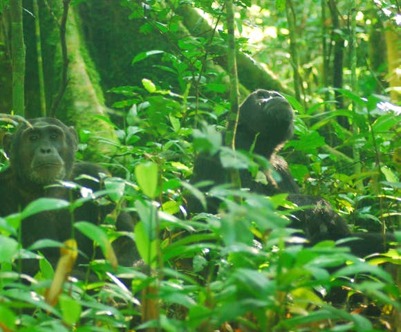 Two adult chimpanzees sitting in Kibale Forest.