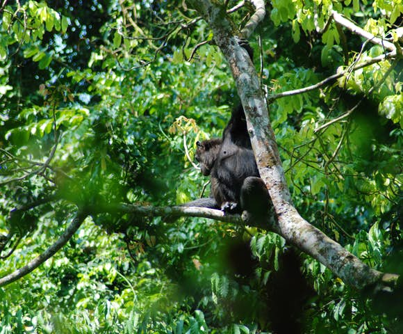 Chimpanzee sitting on a branch in Kibale Forest.
