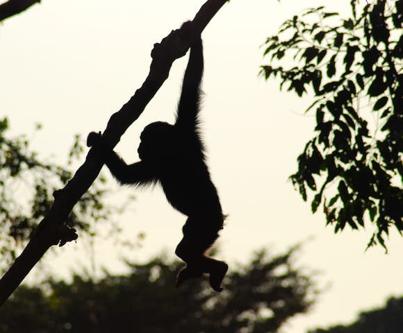 Baby chimpanzee swinging through the trees of Kibale Forest.