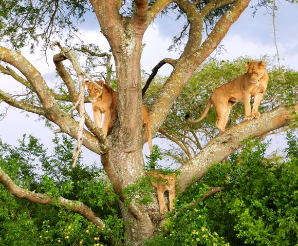 Lion climbing tree in the Ishasha sector of Queen Elizabeth National Park.