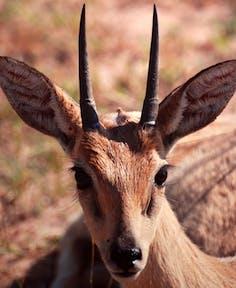 Oribi at Murchison Falls National Park.