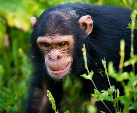 Chimpanzee in Kibale Forest on Kibale habituation experience.