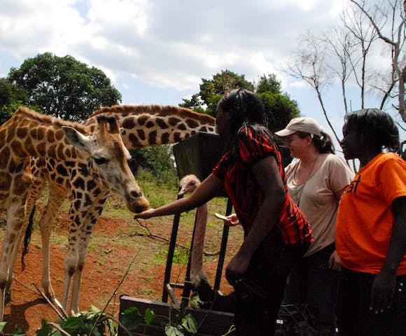 Giraffes being fed at the Uganda Wildlife Education Centre.