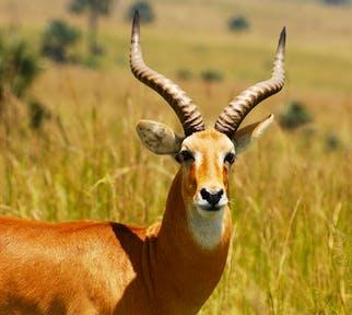Ugandan kob at Murchison Falls National Park.