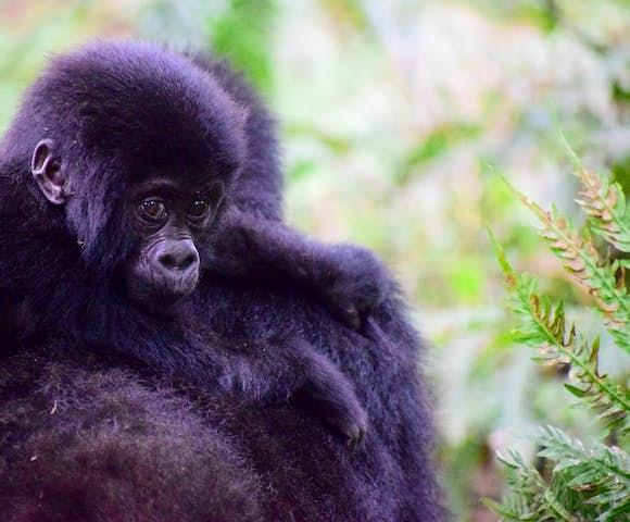 Baby gorilla, Bwindi Impenetrable Forest.