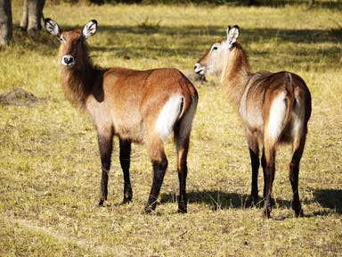 The defassa waterbuck is a large antelope.