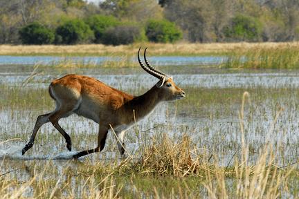 Sitatunga antelope in a wetland habitat.